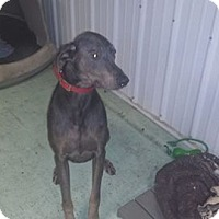 Doberman Pinscher Dog for adoption in Iroquois, Illinois - Axel