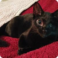 Adopt A Pet :: Athena - Cleveland, OH