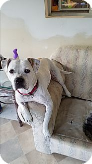 American Bulldog Mix Dog for adoption in Baltimore, Maryland - Penny (COURTESY POST)