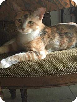 Calico Kitten for adoption in Land O Lakes, Florida - Milie