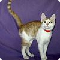 Domestic Shorthair Cat for adoption in Powell, Ohio - Frazier