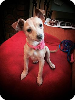 Chihuahua Mix Puppy for adoption in Shakopee, Minnesota - Fiona D3388