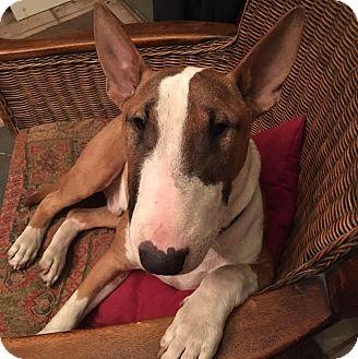 Bull Terrier/Bull Terrier Mix Dog for adoption in Irving, Texas - Butters