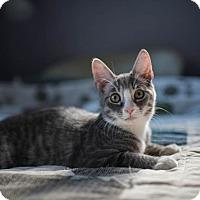 Domestic Shorthair Kitten for adoption in Columbus, Ohio - Luke