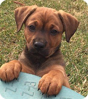 Labrador Retriever Mix Dog for adoption in Centreville, Virginia - Ruby