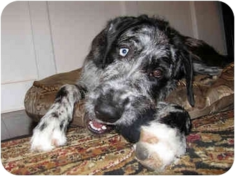 irish wolfhound mastiff mix MEMEs