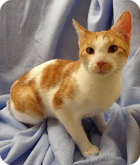 Domestic Shorthair Cat for adoption in Bentonville, Arkansas - Rusty