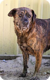 Australian Shepherd/Shepherd (Unknown Type) Mix Dog for adoption in Muskegon, Michigan - Bob