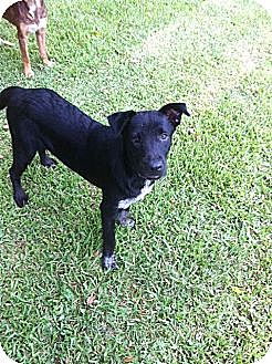 Labrador Retriever Mix Dog for adoption in Baton Rouge, Louisiana - Warner