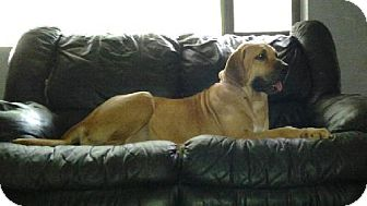 Fila Brasileiro Dog for adoption in Miami, Florida - Anna