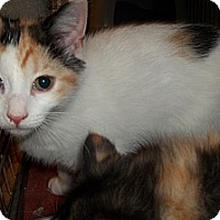 Adopt A Pet :: Calicos - Short Haired - Acme, PA