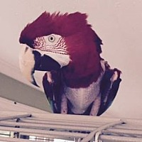 Macaw for adoption in Tampa, Florida - Zeus