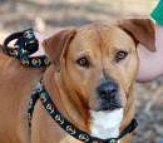 American Bulldog/Boxer Mix Dog for adoption in Jackson, Mississippi - MC