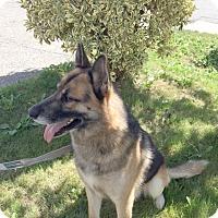 Adopt A Pet :: Rommel - Woodinville, WA