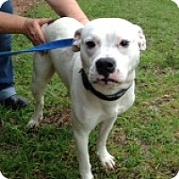 Adopt A Pet :: Yoda - Lawrenceville, GA