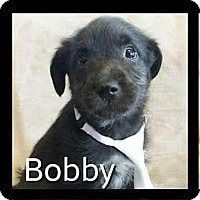 Adopt A Pet :: Bobby - Rancho Cucamonga, CA