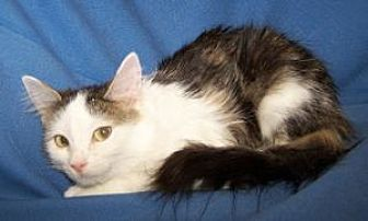 Domestic Shorthair Cat for adoption in Colorado Springs, Colorado - Kaoki