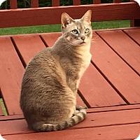 Adopt A Pet :: Tica - Fairfax, VA