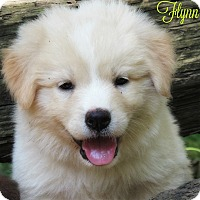 Adopt A Pet :: Flynn - Kyle, TX