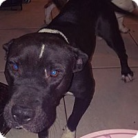 American Pit Bull Terrier Dog for adoption in Phoenix, Arizona - Katie