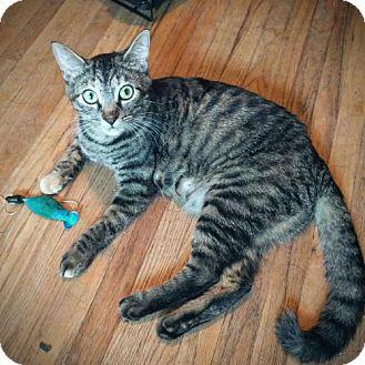 Domestic Shorthair Cat for adoption in Edina, Minnesota - Poliwhirl C160293
