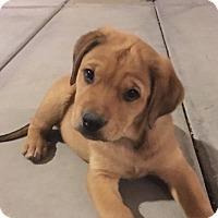 Adopt A Pet :: Bonnie's Bear - Las Vegas, NV