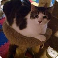 Adopt A Pet :: Bandit - Bridgeton, MO