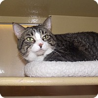 Domestic Shorthair Cat for adoption in Appleton, Wisconsin - Chow *Petsmart GB*