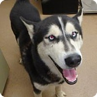 Husky Mix Dog for adoption in Apple Valley, California - Billy #161297