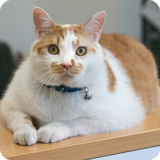 Domestic Shorthair Cat for adoption in Houston, Texas - Kolache