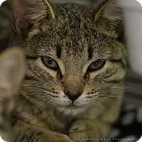 Domestic Shorthair Kitten for adoption in Houston, Texas - KITA