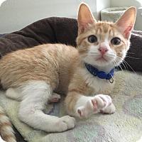 Adopt A Pet :: Paul (special needs) - Houston, TX