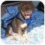 Photo 1 - Labrador Retriever/Shepherd (Unknown Type) Mix Puppy for adoption in Minneola, Florida - Taylor