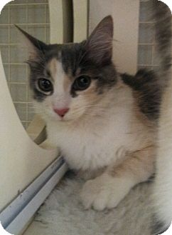 Calico Kitten for adoption in Chandler, Arizona - Salt