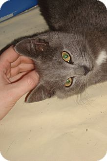 Russian Blue Kitten for adoption in Brooklyn, New York - Blueberry