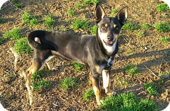 Miniature Pinscher/Terrier (Unknown Type, Small) Mix Dog for adoption in Albert Lea, Minnesota - Banjo