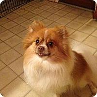 Adopt A Pet :: NICO - conroe, TX
