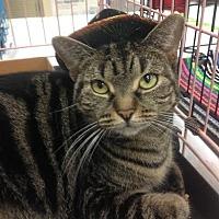 British Shorthair Cat for adoption in Miami, Florida - Bella