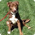 Adopt A Pet :: VIXEN