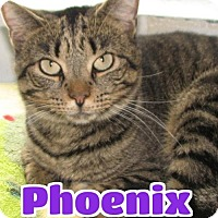 Domestic Shorthair Cat for adoption in Lawrenceburg, Kentucky - #3650F Phoenix - Sponsored