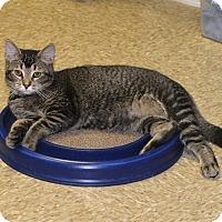 Adopt A Pet :: Shana - Medina, OH