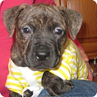 Adopt A Pet :: Gucci-adoption pending - Schaumburg, IL