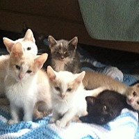 Domestic Shorthair Kitten for adoption in Byron Center, Michigan - Foster Homes Needed!