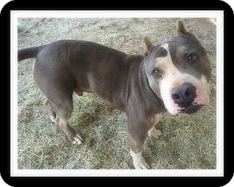 Pit Bull Terrier Dog for adoption in Winchester, California - RYDER