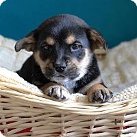Adopt A Pet :: Marky - Waldorf, MD