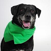 Labrador Retriever Mix Dog for adoption in Thibodaux, Louisiana - Remington K91-7777