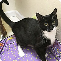 Domestic Shorthair Cat for adoption in Colorado Springs, Colorado - Palmyra
