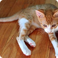 Domestic Shorthair Kitten for adoption in Waterbury, Connecticut - Copernicus