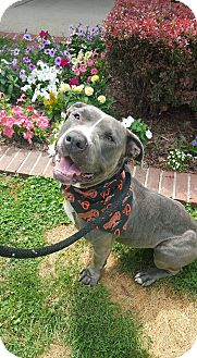 Neapolitan Mastiff/American Pit Bull Terrier Mix Dog for adoption in Baltimore, Maryland - Pickle