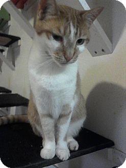 Domestic Shorthair Cat for adoption in Medford, New York - Baby Orange